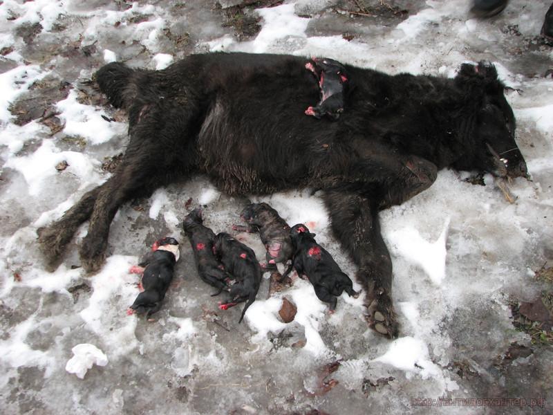 собака со щенками убитая догхантерами