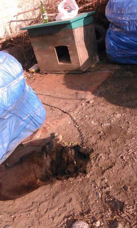 Догхантеры отравили собаку, сидящую на цепи