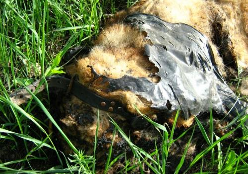 В Омске охранники лодочной станции заживо сожгли беременную собаку в ошейнике