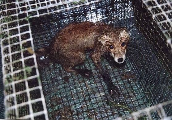 Госдума будет бороться за запрет контактной притравки животных, отклоненный Советом Федерации