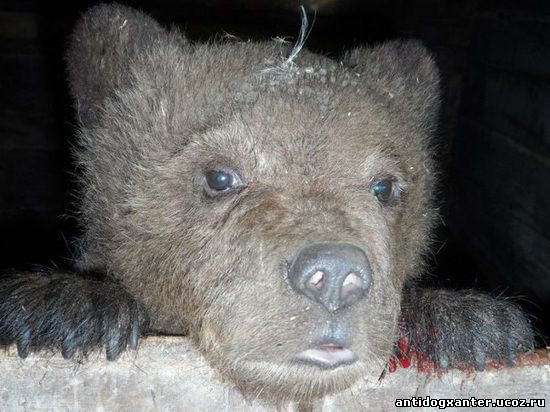 Питерские волонтеры вызволили медвежонка из притравочной станции