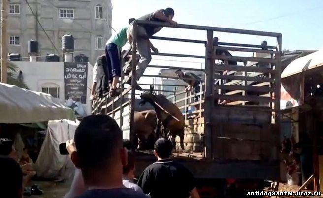 Австралийская организация по защите животных шокирована жутким видео, снятым в Газе, Быков и коров,пытают на потеху толпе