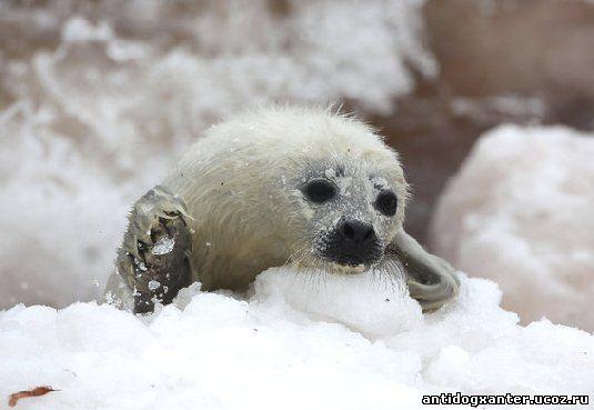 Тюлени наносят ущерб эстонскому рыболовству