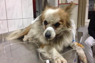 Беременная одесситка в новогоднюю ночь спасала жизнь сбитой собаке (Фото)