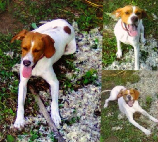 пропала собака (cука 3 года) породы пойнтер (красно-пегая) на белом фоне рыжие пятна по кличке Гера.