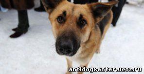 Страдают от догхантеров и домашние собаки. Фото с сайта ushilapyhvost.ru