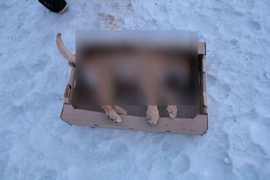 В Орске догхантеры жестоко убили трехмесячного щенка.