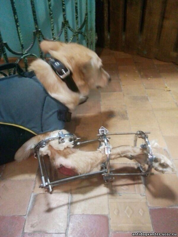 собаке поставили аппарат Илизарова