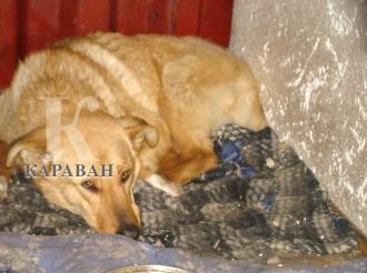 Невероятный случай: на жителя города Каскелена Алматинской области возбуждено уголовное дело по подозрению в жестоком обращении с животными.