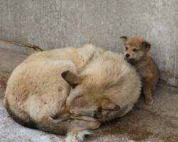 В Тольятти отловят более 1,2 тысячи бродячих собак, умерщвлять будут больных бешенством или другими заразными болезнями.