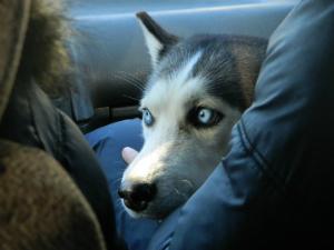 борцы с догхантерами отмечают, что в последнее время участились случаи когда отравители собак охотятся не за бездомными псами, а за хозяйскими.