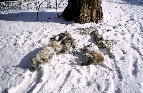 Полиция Озерска разыскивает живодеров догхантеров, расстрелявших щенков