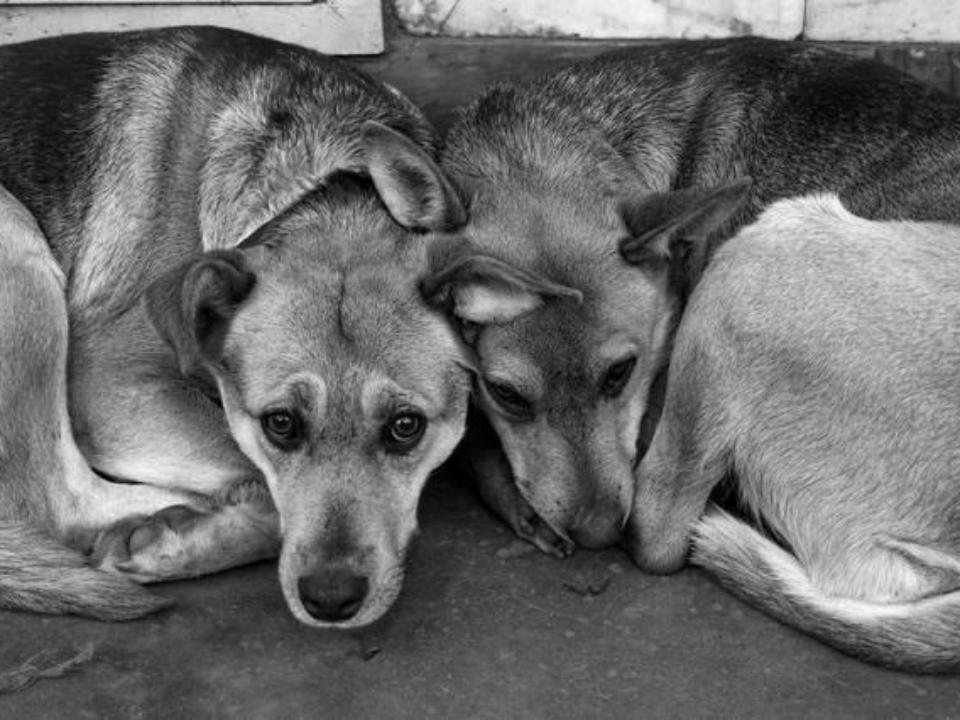 Во Владивостоке догхантеры травят сторожевых собак