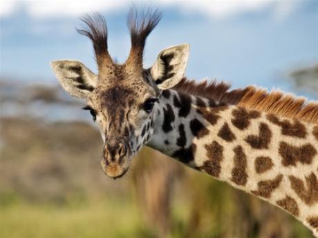 Жираф Мариус из датского зоопарка не будет убит; своим избавлением он обязан самке