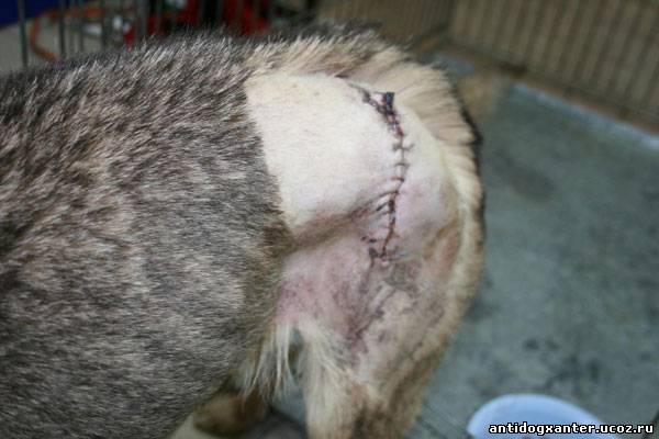 Найда перенесла операцию, после нападения догхантера