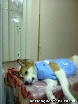 Мурманские ветеринары спасли подстреленную собаку.